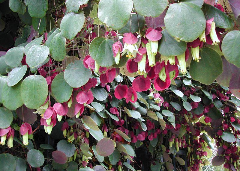 Passiflora membranacea 1 © StrangeWonderfulThings