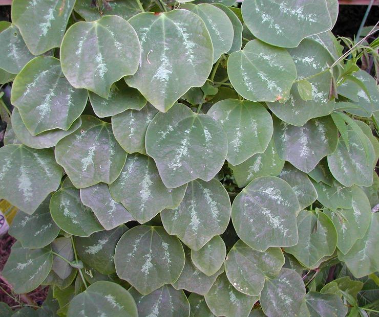 Passiflora membranacea variegated © Strange Wonderful Things