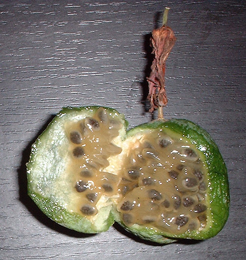 Passiflora cinnabarina fruit open