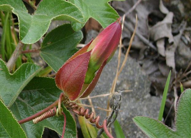 Passiflora manicata flower bud