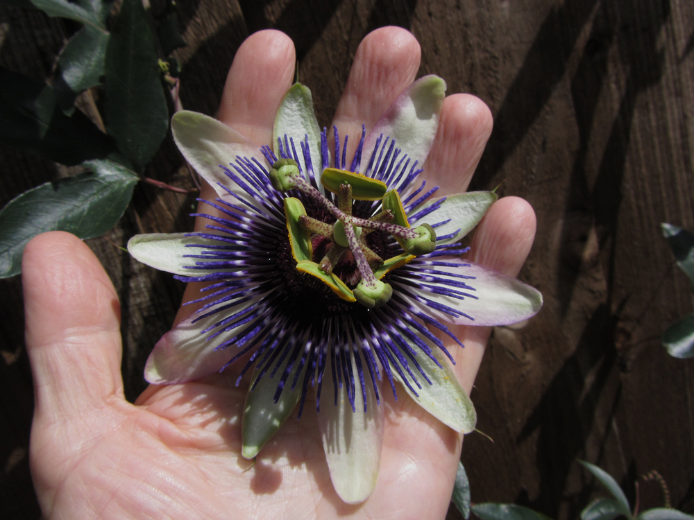 passiflora-damsels-delight-hand