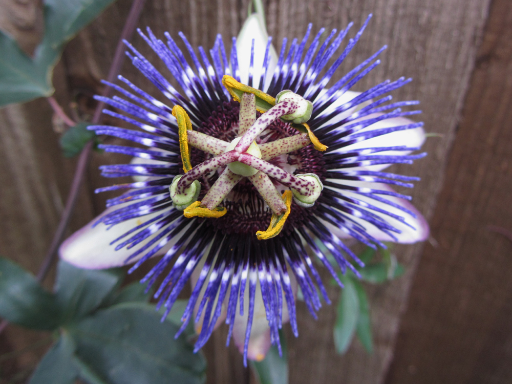passiflora-damsels-delight