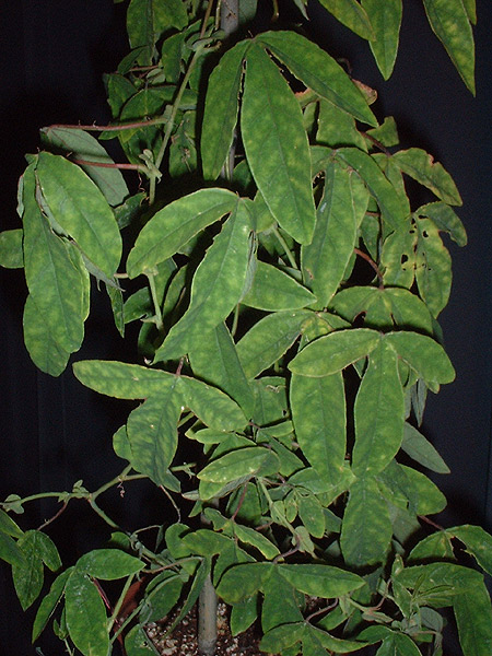 Passiflora gritensis foliage in UK