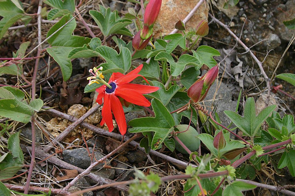 Passiflora manicata flower
