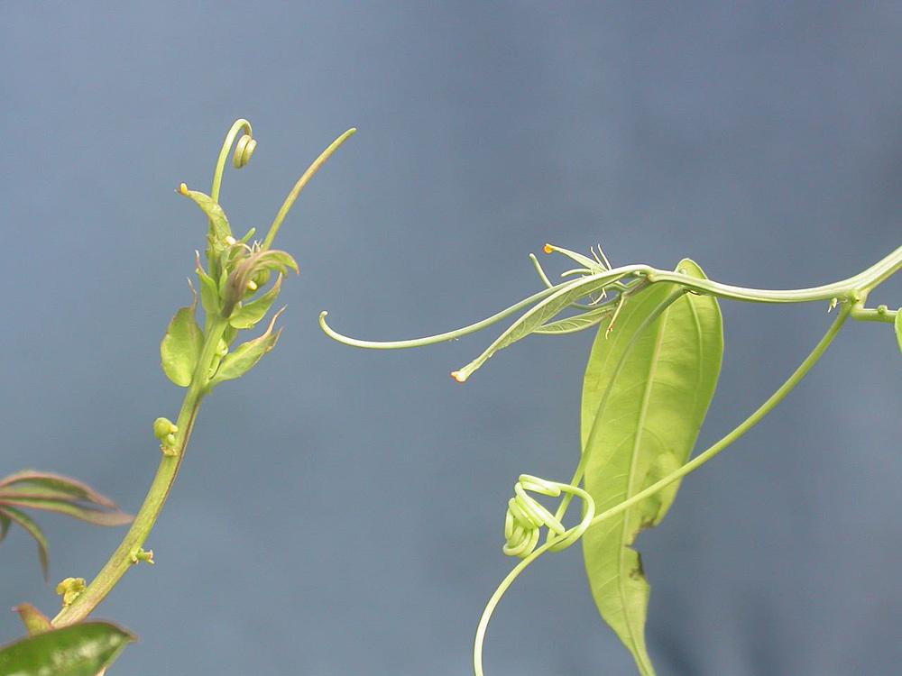 Passiflora caerulea & poslae