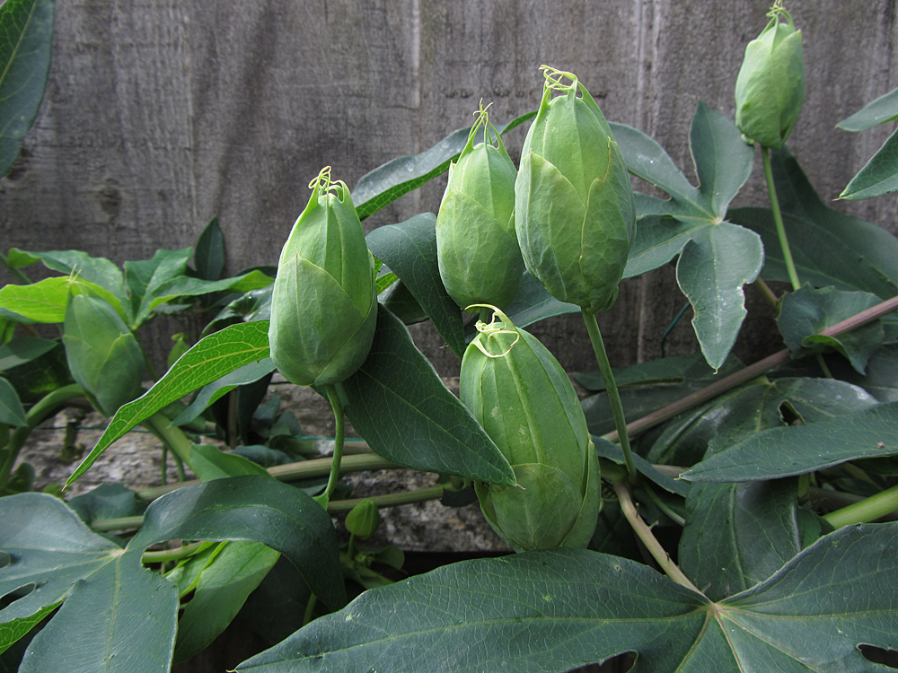 passiflora-snow-queen-buds
