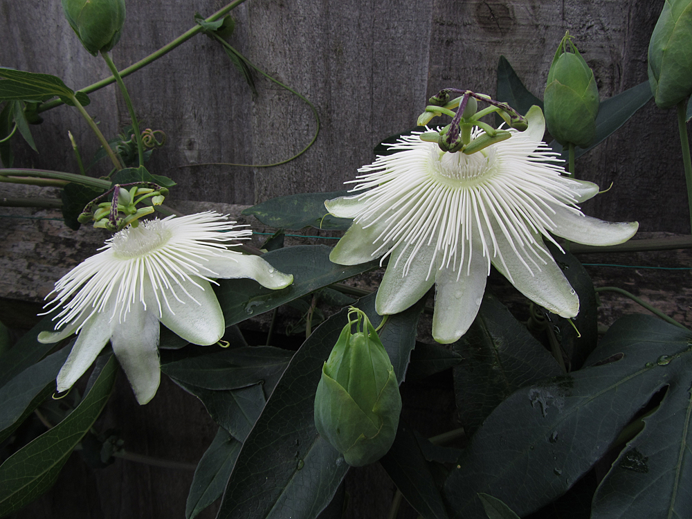 passiflora-snow-queen-flowers-buds