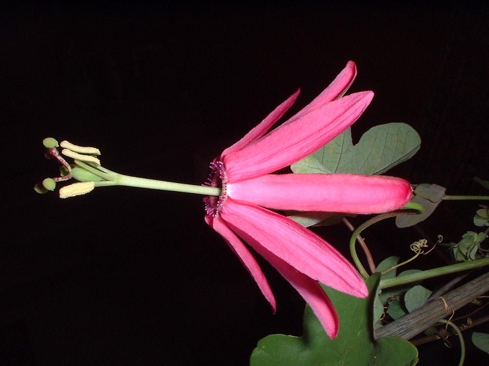 Passiflora reflexiflora 2