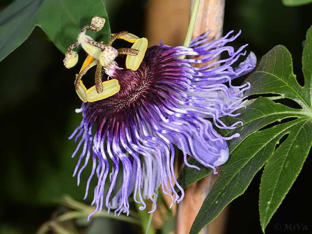 Passiflora amethystina 'Pico de Itapeva'