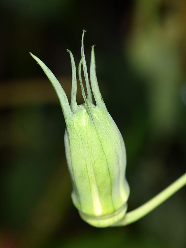 Passiflora amethystina 'Pico de Itapeva' flower bud