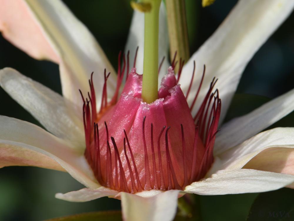 Passiflora aurantia var. samoensis 1