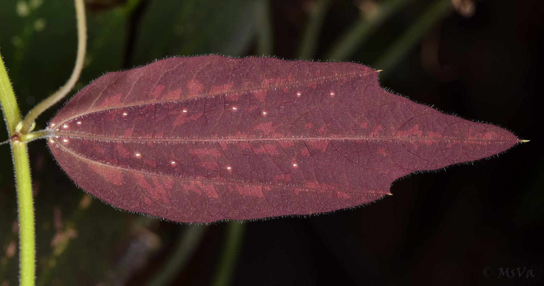 Passiflora hirtiflora leaf underside