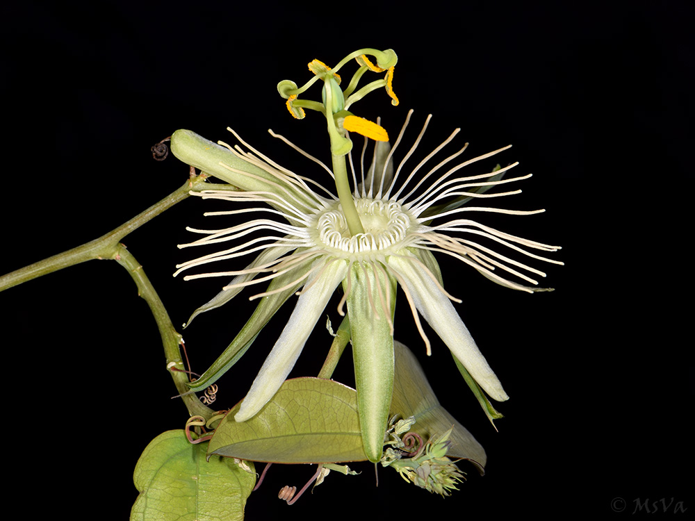 Passiflora spec. Utinga view 2
