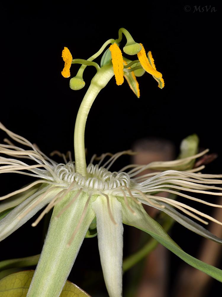 Passiflora spec. Utinga curved androgynophore
