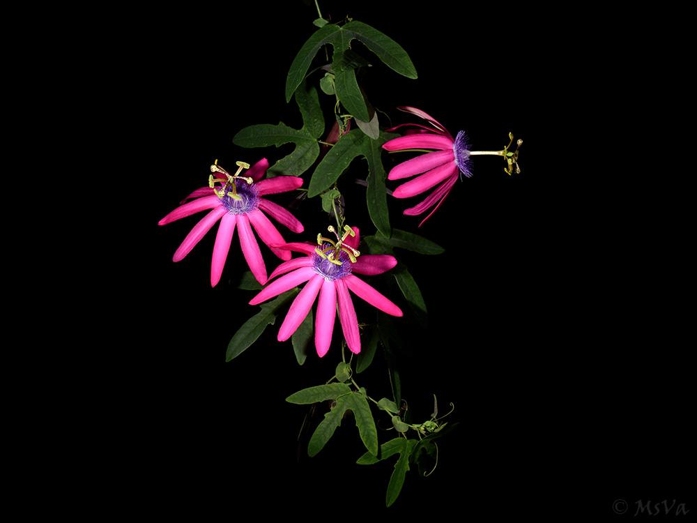Passiflora kermesina 4