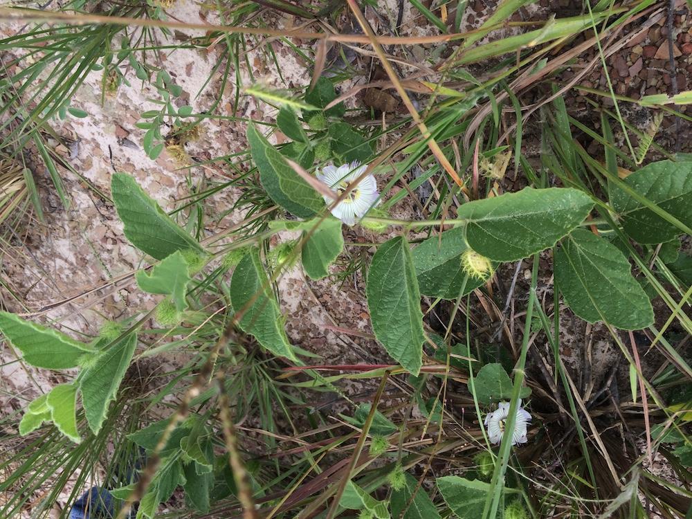 Passiflora clathrata