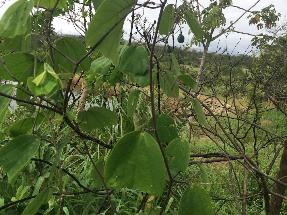 Passiflora pohlii 1