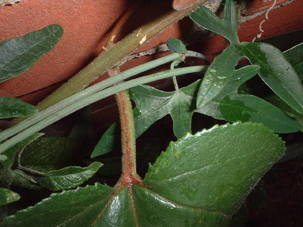 Passiflora x exoniensis flower leaf