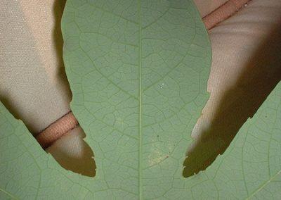 Passiflora kermesina leaf rear close up
