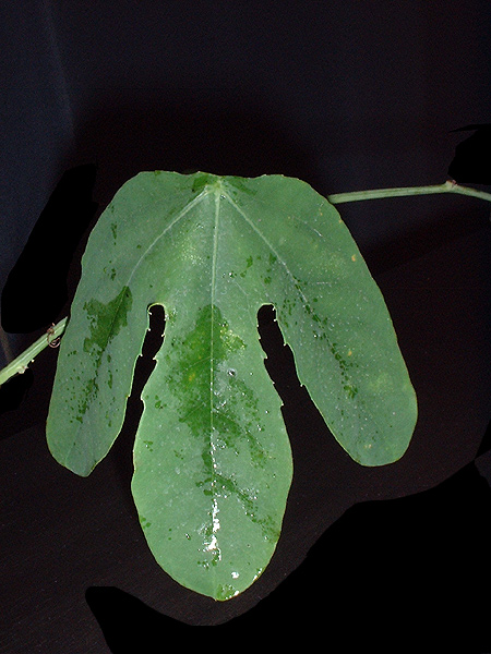 Passiflora kermesina leaf
