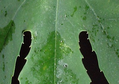 Passiflora kermesina leaf close up