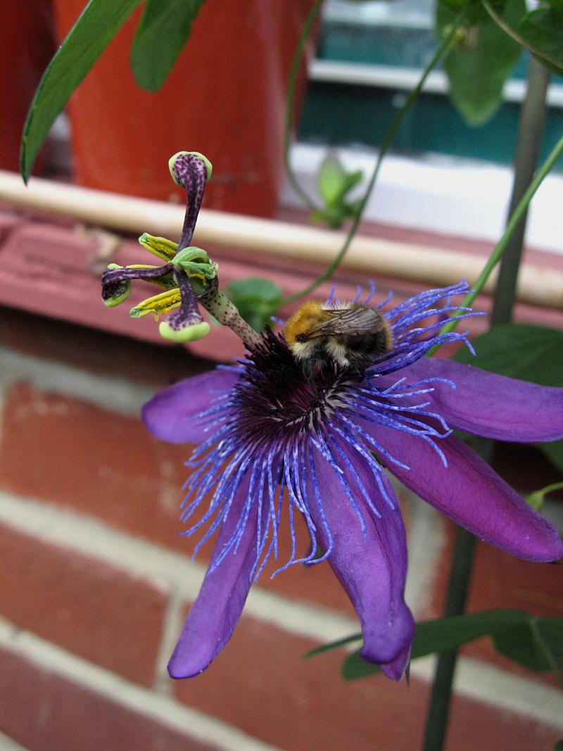 Passiflora La Morellina