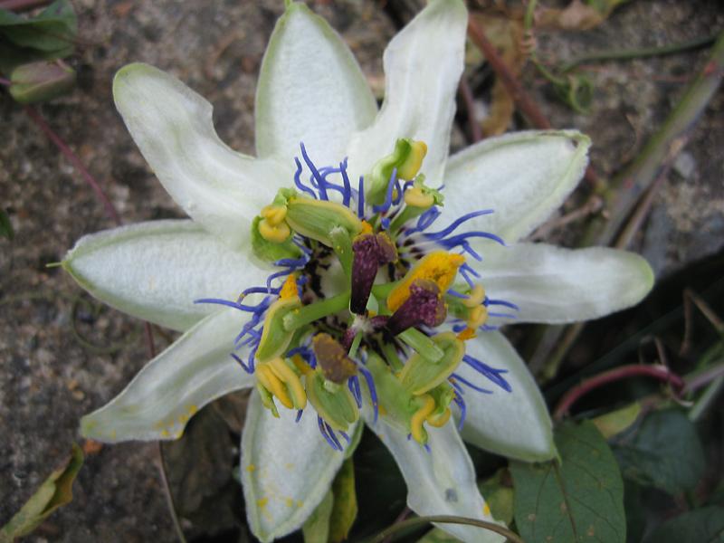 Passiflora caerulea freak 2
