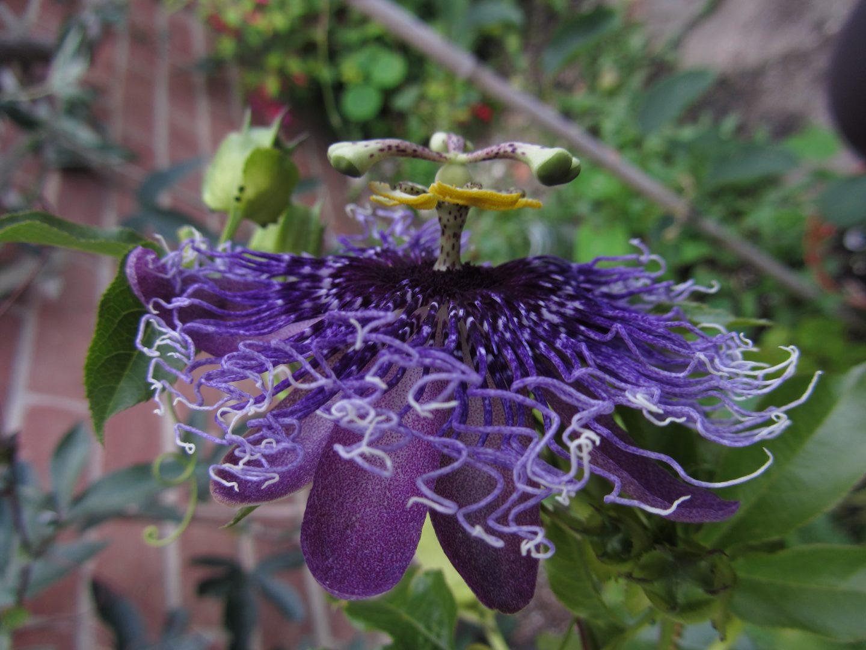 Passiflora Byte side