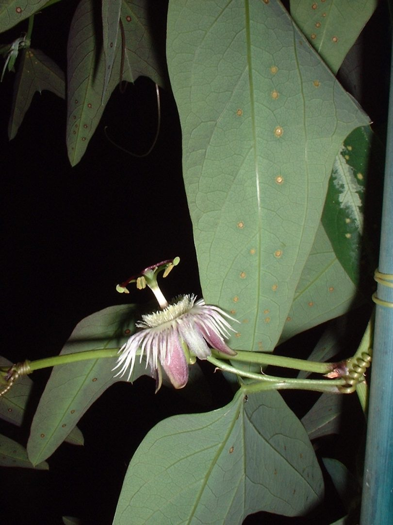 Passiflora pardifolia flower side view