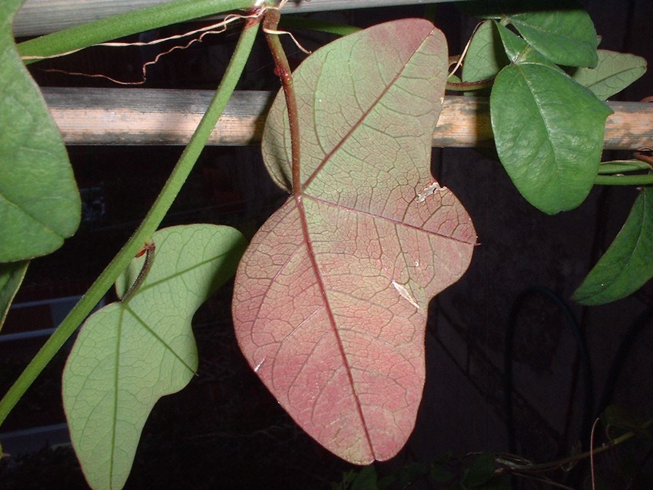 Passiflora sagasteguii leaf underside