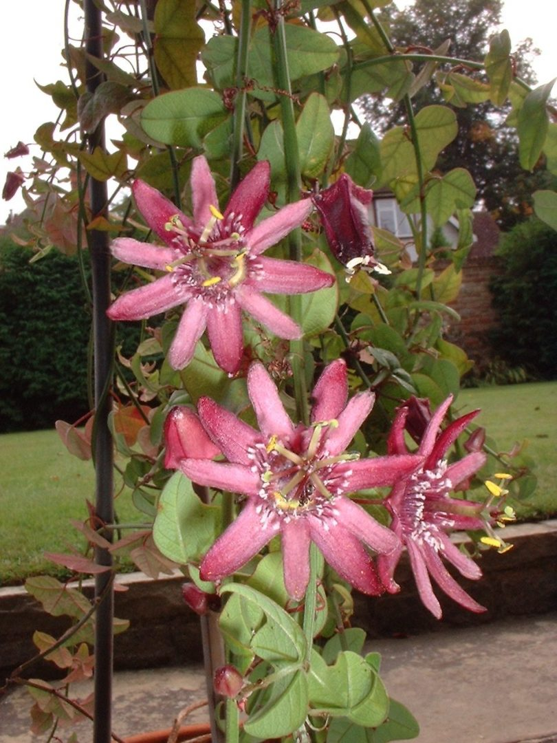 Passiflora sagasteguii flowers