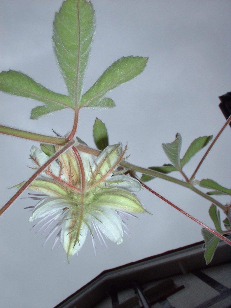 Passiflora pentaschista rear