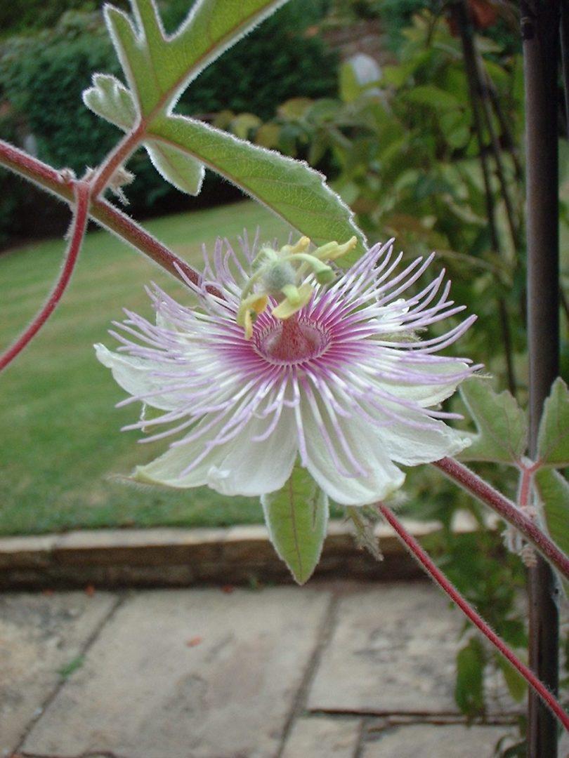 Passiflora pentaschista 1