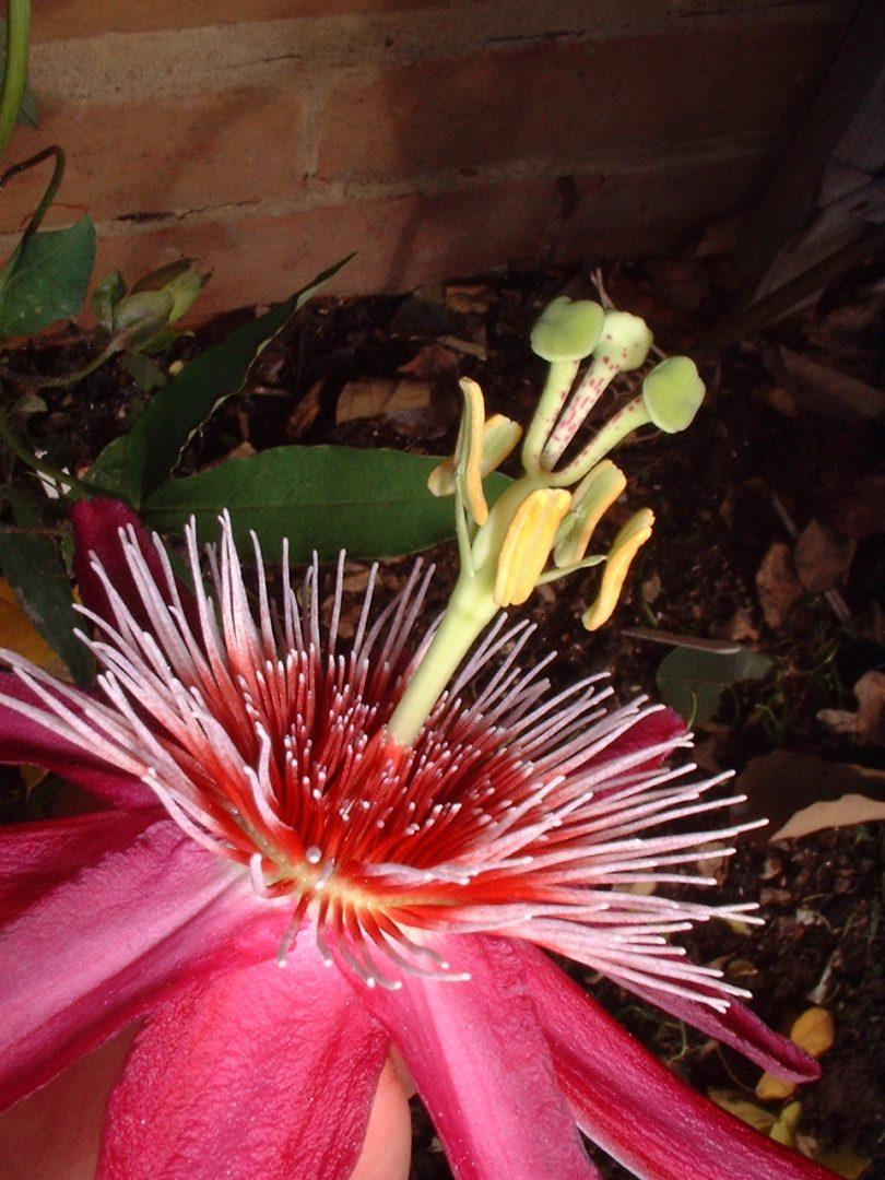 Passiflora Anastasia 2