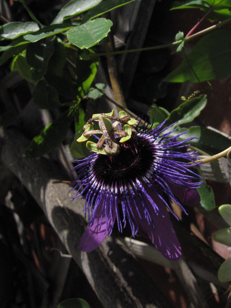 Passiflora Monika Fischer 1