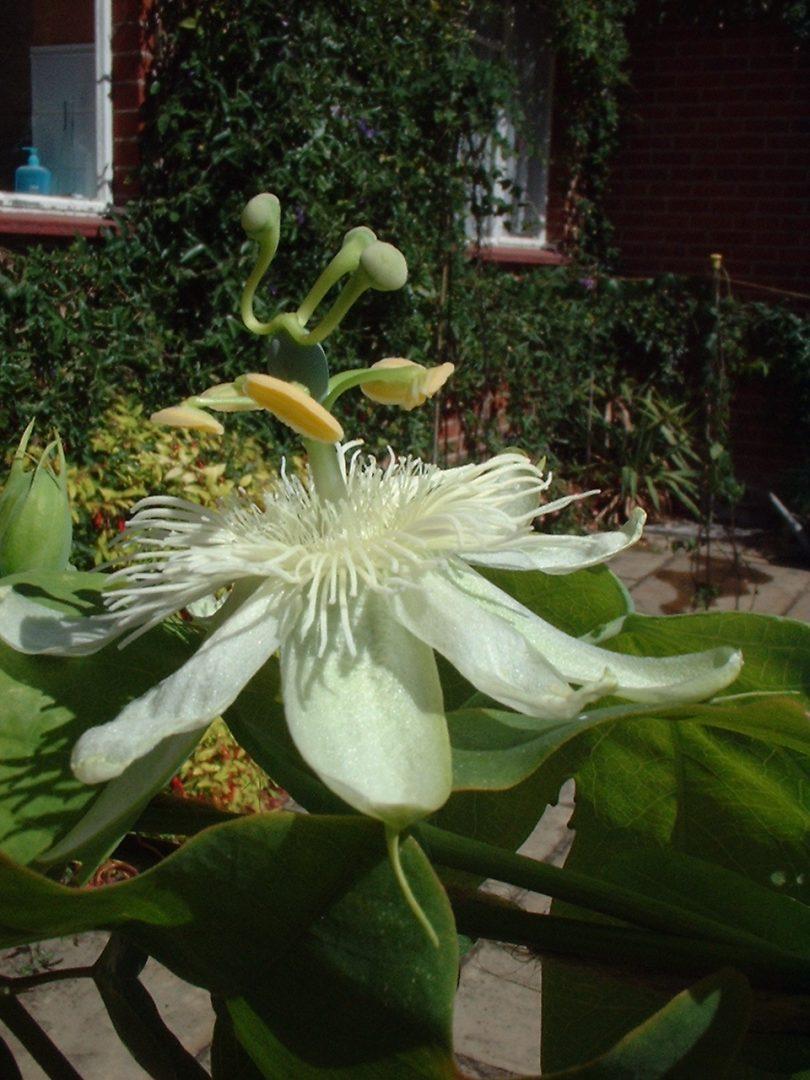 Passiflora subpeltata 2