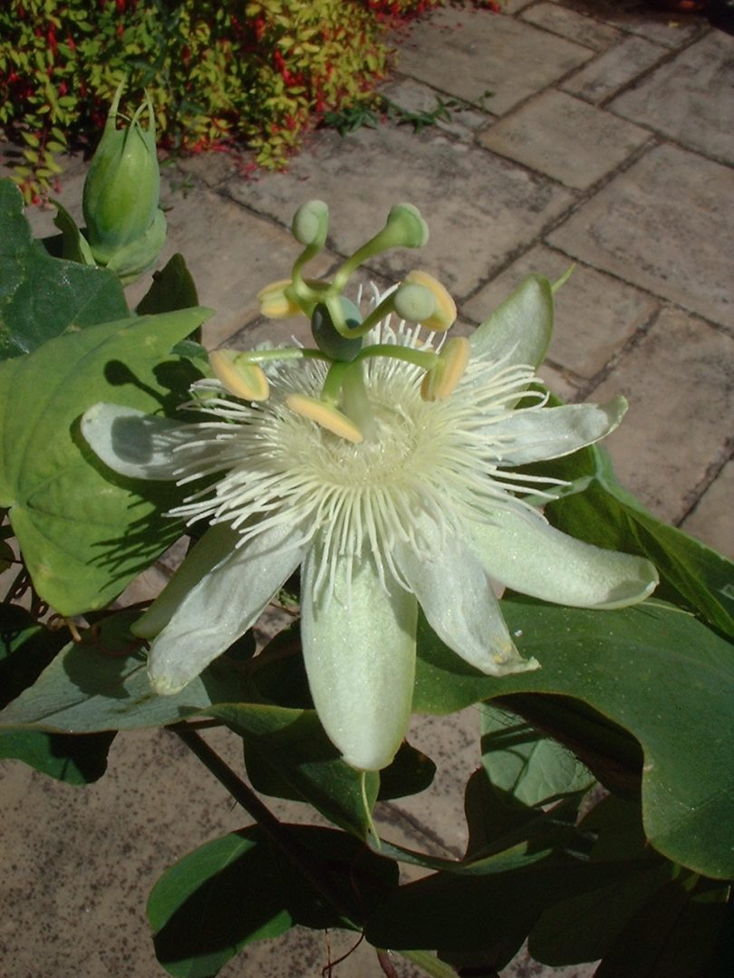 Passiflora subpeltata 1