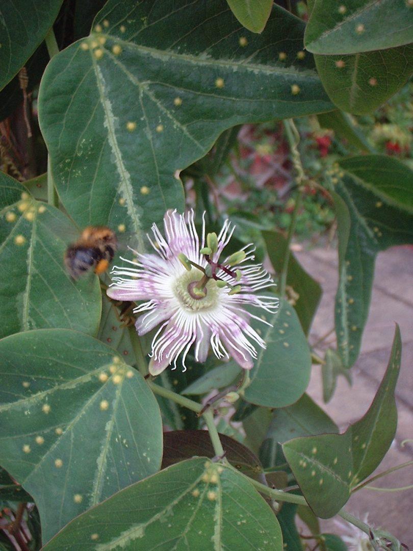 Passiflora pardifolia flower
