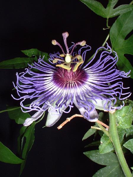 Passiflora x colvilii 1