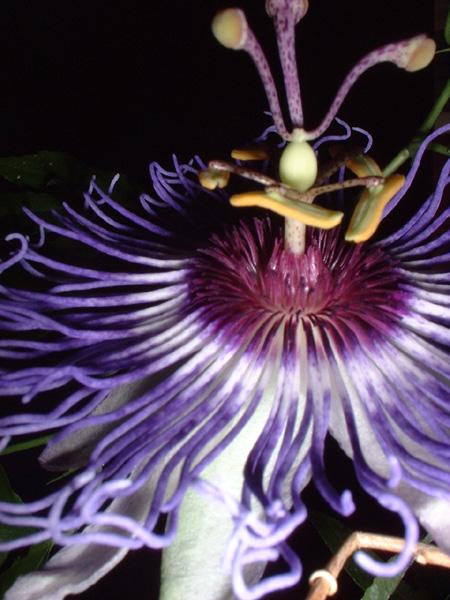Passiflora x colvilii 3