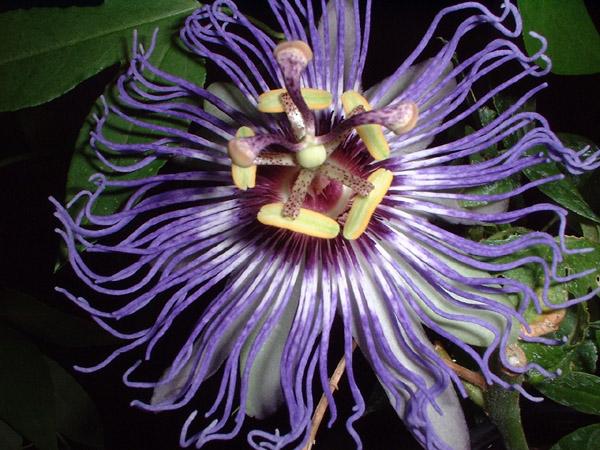 Passiflora x colvilii 2