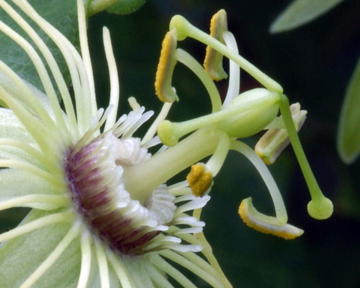 Passiflora lutea close up