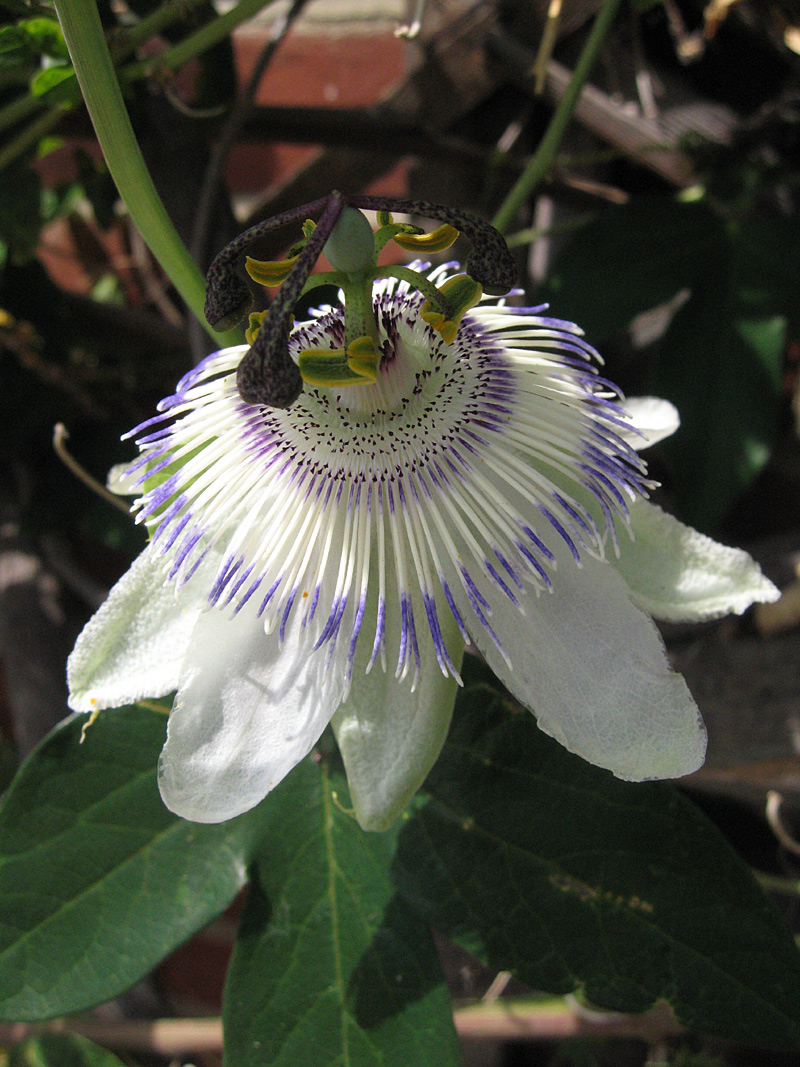 Passiflora Blue Crown