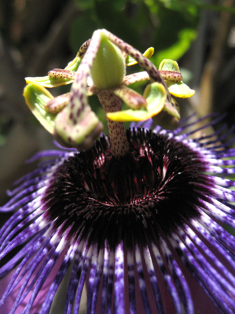 Passiflora Monika Fischer 3