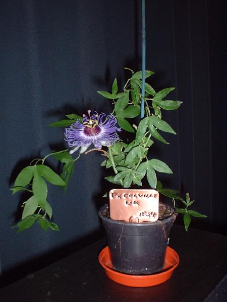 Passiflora x colvilii