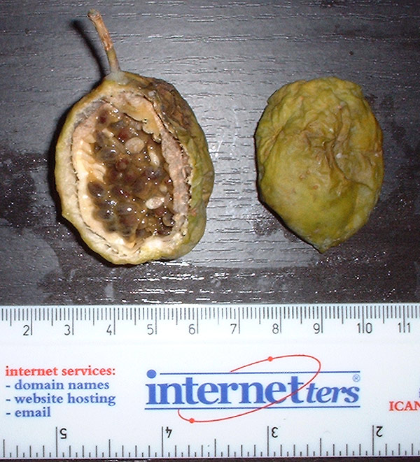 Passiflora subpeltata fruit