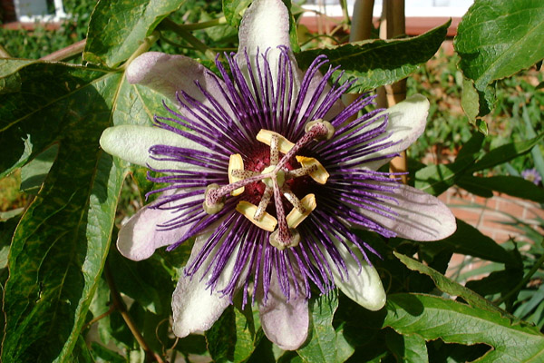 Passiflora Vlasta flower
