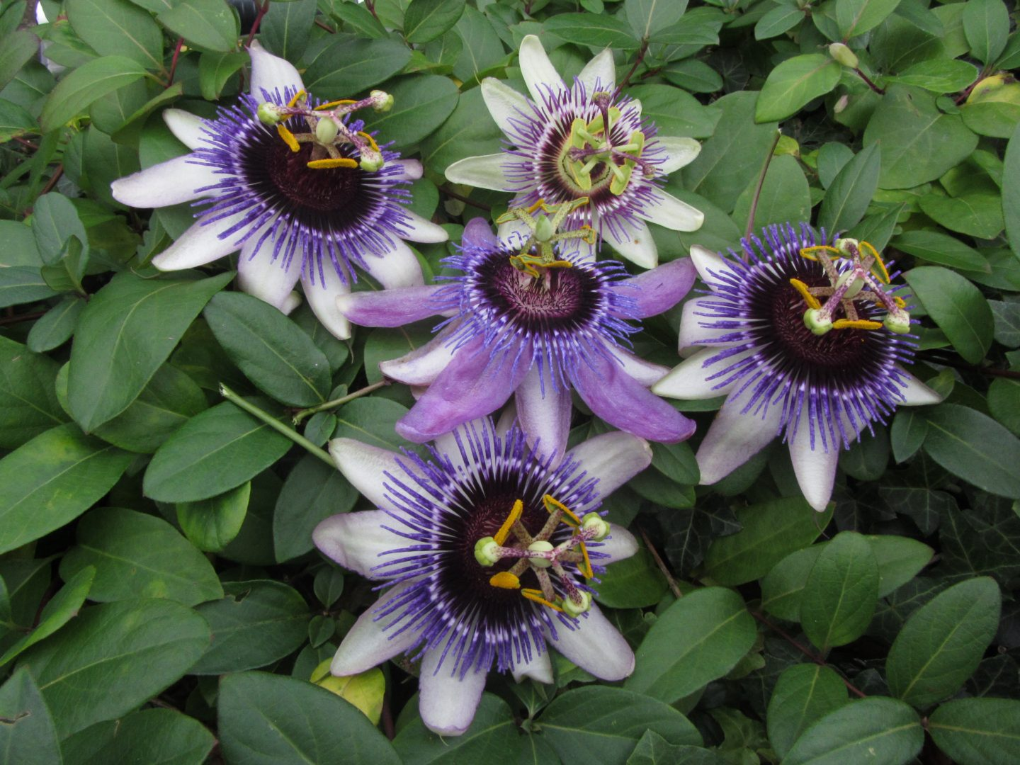 52ada4029 Passiflora Passion flowers – Polyploids
