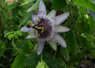Passiflora Barbora