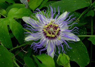 Passiflora Darina